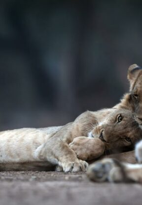 Lions in the Ngorongoro Conservation Area of Tanzania are one of the predator species helped by SOS Grantee Tanzanian People and Wildlife, which implements solutions to human-wildlife conflict in the area