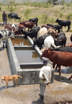 livestock drink water pumped up from the river in the gorge thanks to PROTOS' work with local communities to install this system
