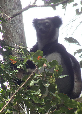 What it's all about: protecting lemurs like this Critically Endangered Indri (Indri indri)