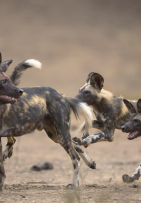 African Wild Dogs are another species that will benefit from SOS African Wildlife Initiative to reduce habitat loss through human activity