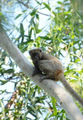 Greater bamboo lemur has a funny reaction