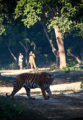 Tigers and humans in closer contact than ever before