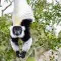 Black-and-White Ruffed Lemur in Madagascar
