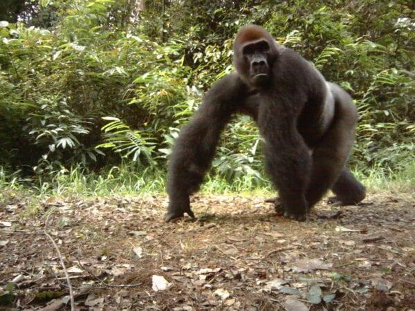 Gorilla caught by a camera trap