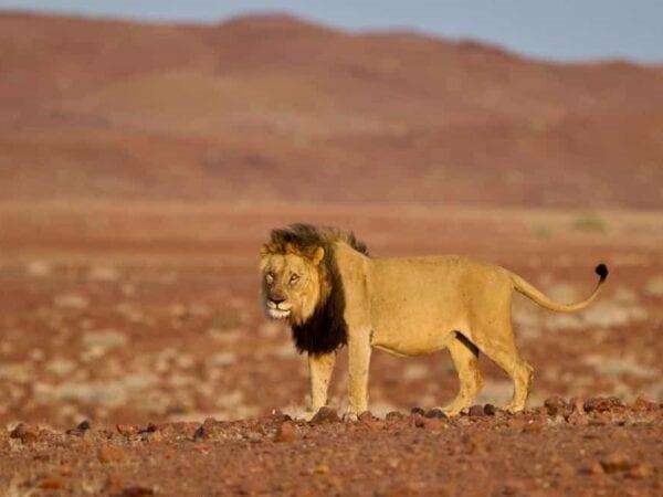 Male Lion in Obab River catchement