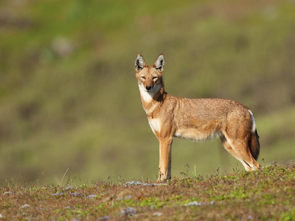 Lone Ethiopian Wolf