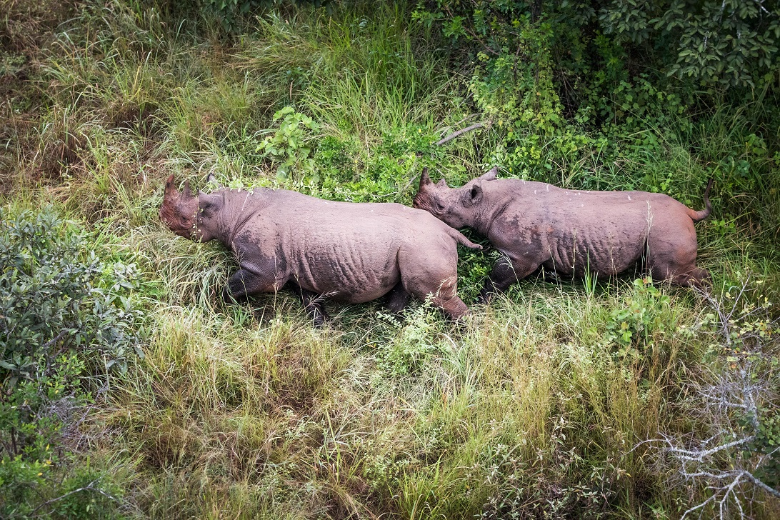 Two Black Rhinoceroses in Rwanda