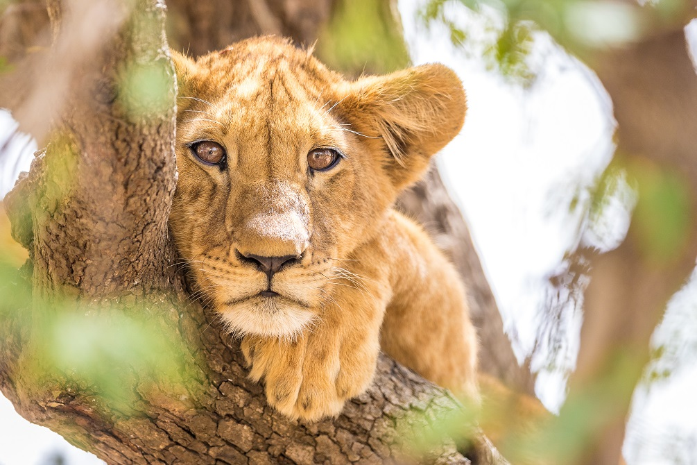 African Lion Cub in Chad