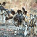 Pack of African Wild Dogs playing
