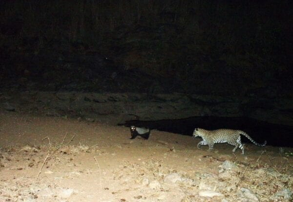 A Honey badger and a Leopard are pictured together