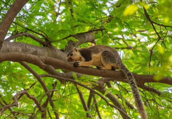 Grizzled giant squirrel sits in a tree