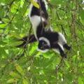 Varecia variegata hanging from trees