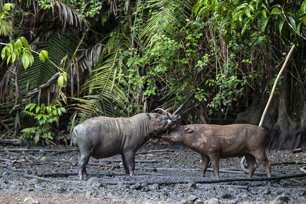 Babirusas at salt lick in Nantu forest clearing