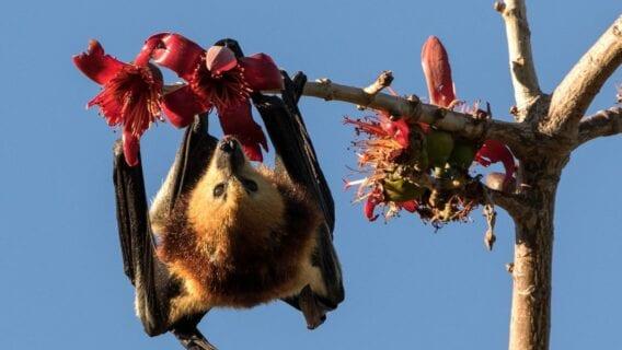 Mauritian Flying Fox