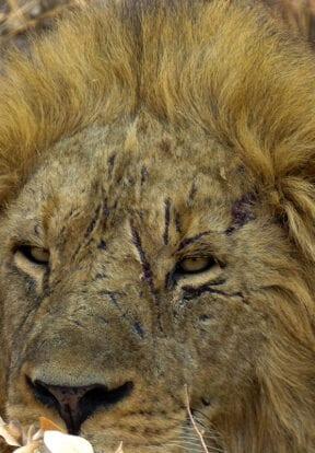 Battle-scarred male lion in Kafue