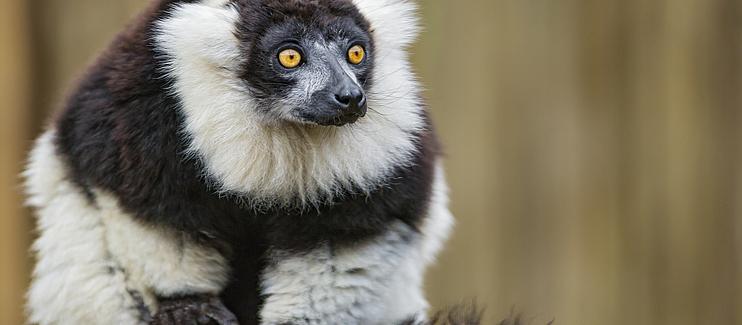 Saving Critically Endangered lemurs