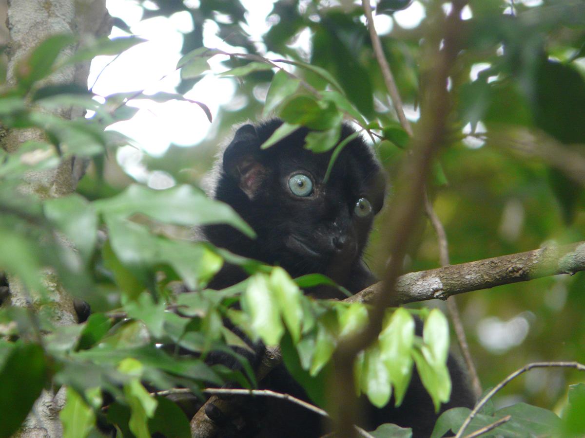 Blue-eyed Black Lemur (CR) in Sahamalaza Iles Radama National Park