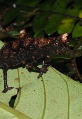 Brookesia supercilliaris
