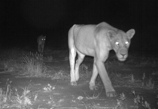 Lion sighting via Camera Trap