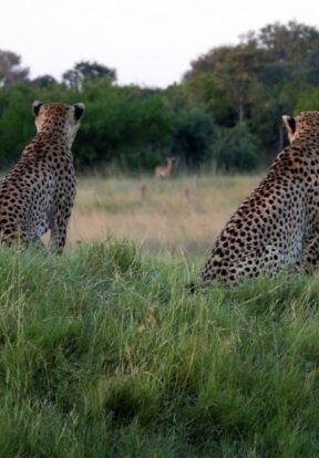 Predators such as cheetahs are at risk of retaliation killing by livestock farmers, whose animals they prey upon when human settlements and wildlife habitats overlap