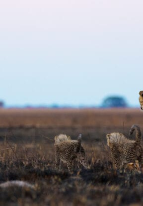 Cheetah with Cubs in Luiwa