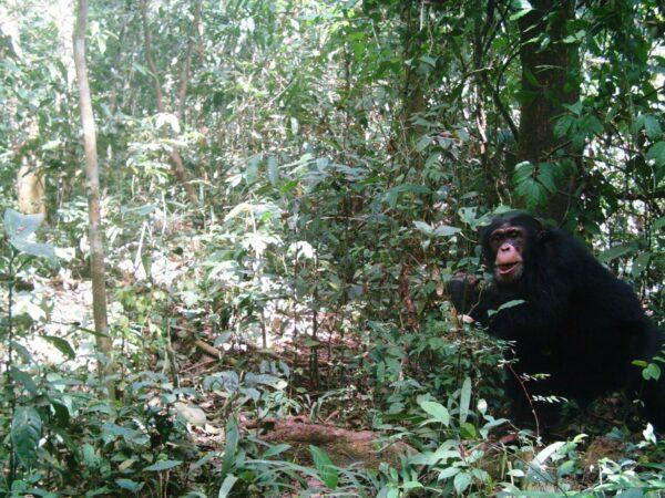 Chimpanzee caught by a camera trap