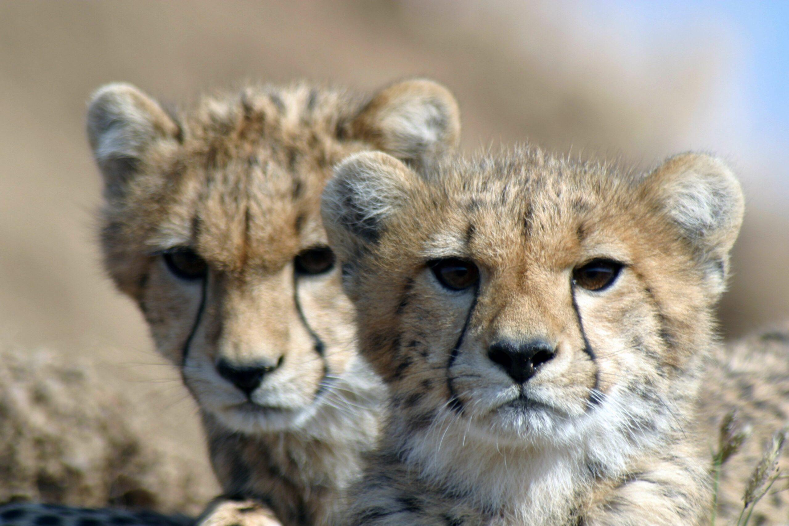 Cheetah cubs KAZA