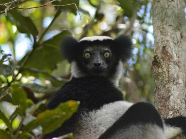 Indri sitting in tree