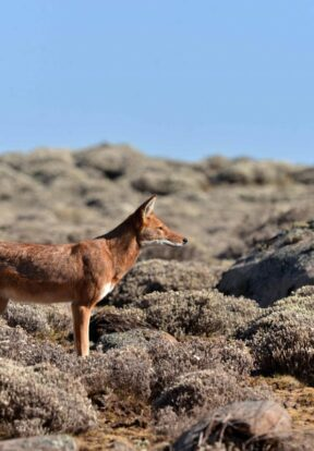 Ethiopian wolf hunting in Helichrysum, Sanetti Plateau Bale Mountains National Park