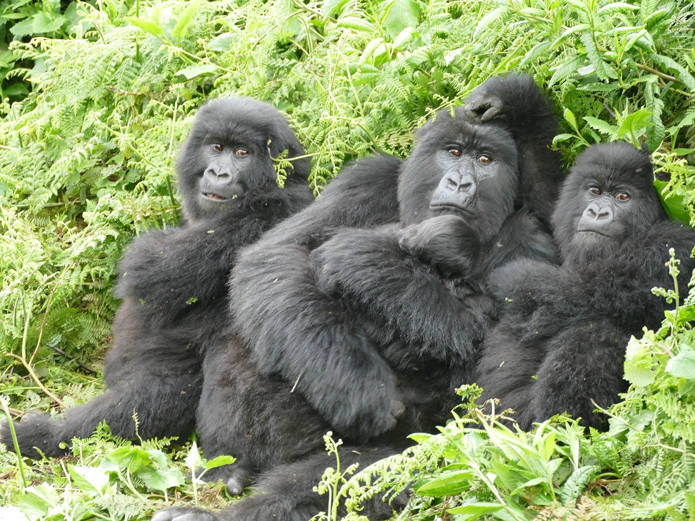 Female Mountain Gorilla with her infants