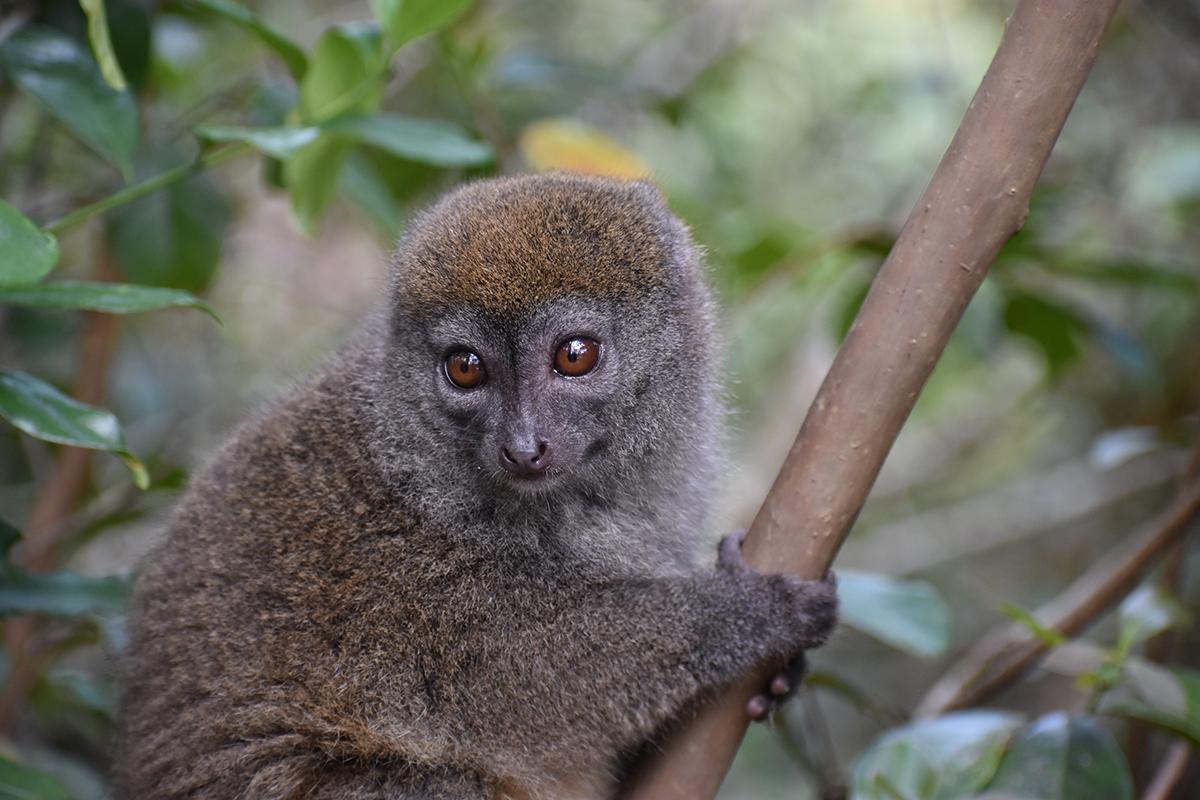Gilbert's Lesser Bamboo Lemur (Hapalemur griseus ssp. gilberti) is one IUCN SOS target species