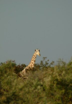 Giraffe monitoring