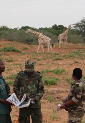 Three giraffes in the wild