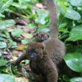 Greater Bamboo Lemur in Kianjavato