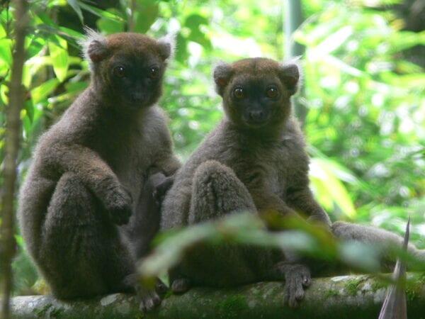 Greater bamboo lemur Mother & Juvenile