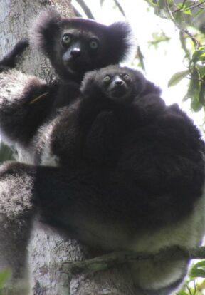 I. indri lemur