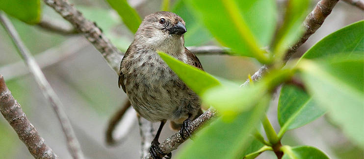 Conservation and range expansion of the critically endangered Mangrove Finch (Camarhynchus heliobates) on Isabela Island