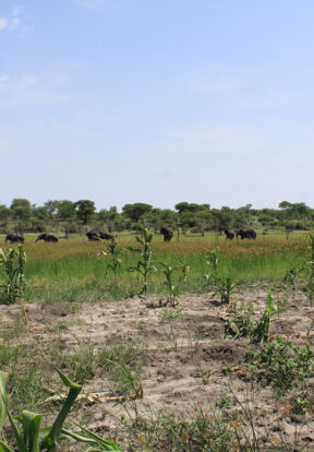 herd passing community maize