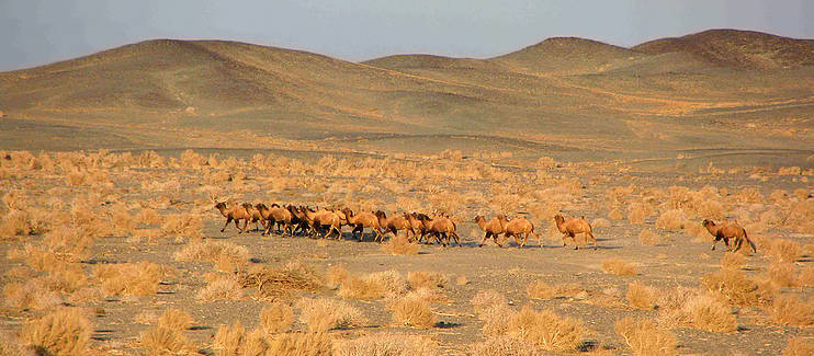 Protecting the last wild camels and their habitat