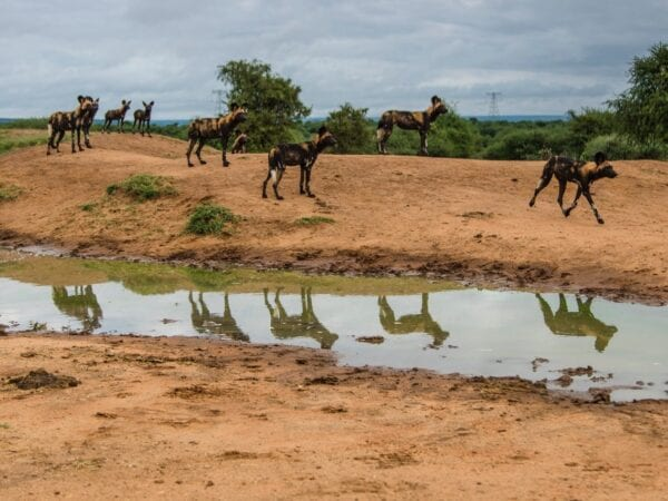 Pack of African Wild Dogs in Kenya
