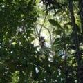 Indri in the Ankeniheny-Zahamena Corridor