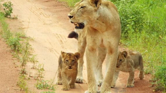 Some of Ruaha's next generation of lions out for a walk