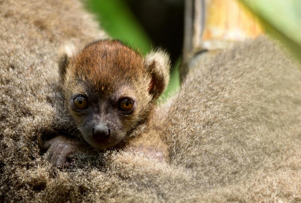 Baby Bamboo Lemur born in October 2018