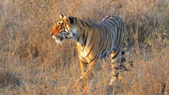 Tiger sunrise