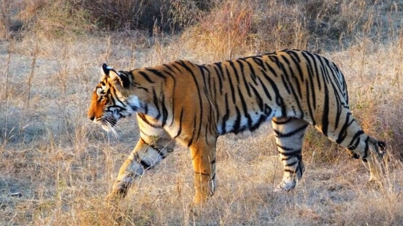 Lone tiger in the wild