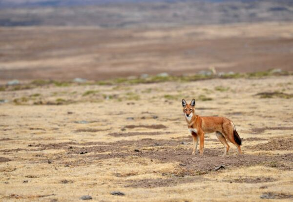 Juvenile Ethiopian wolf in Web Valley-Bale Mountains National Park