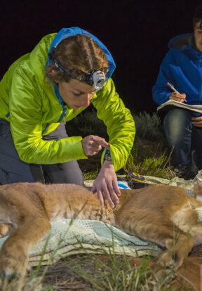 Radio-tracking predators like caracal helped design coping strategies
