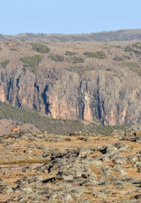 Landscape and Ethiopian wolf in Sanetti Plateau - Bale Mountains National Park