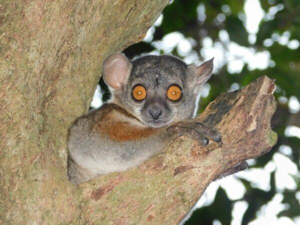 Randrianasolo's Sportive Lemur sitting in tree