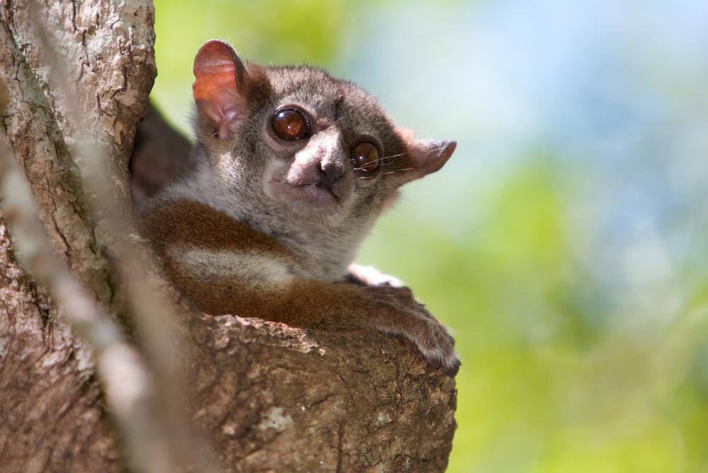 Milne Edwards sportive lemur (Lepilemur edwardsi) (EN)